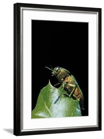 Aurigena Unicolor (Jewel Beetle)-Paul Starosta-Framed Photographic Print