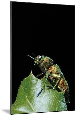 Aurigena Unicolor (Jewel Beetle)-Paul Starosta-Mounted Photographic Print