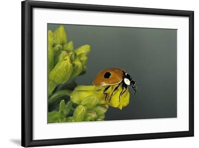 Adalia Bipunctata (Twospotted Lady Beetle)-Paul Starosta-Framed Photographic Print