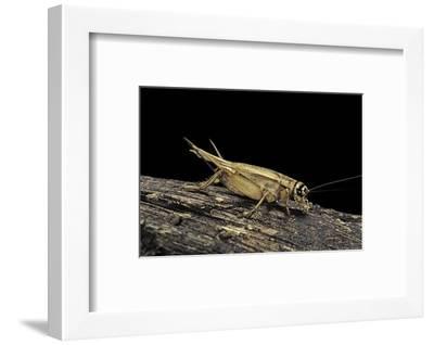 Acheta Domesticus (House Cricket)-Paul Starosta-Framed Photographic Print
