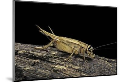 Acheta Domesticus (House Cricket)-Paul Starosta-Mounted Photographic Print