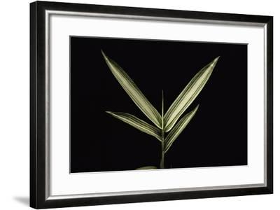 Pleioblastus Shibuyanus (Tsuboi Bamboo) - Leaf-Paul Starosta-Framed Photographic Print