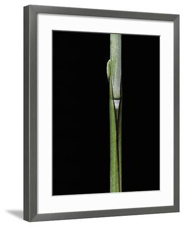 Sasa Kurilensis (Bamboo) - Shoot-Paul Starosta-Framed Photographic Print