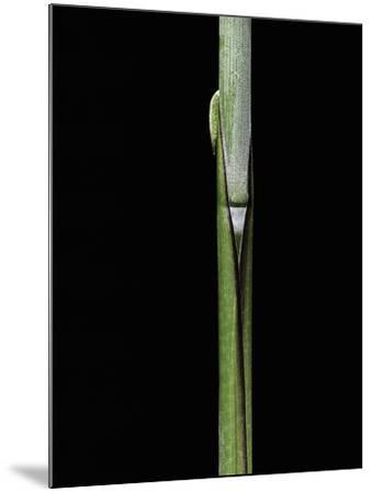 Sasa Kurilensis (Bamboo) - Shoot-Paul Starosta-Mounted Photographic Print