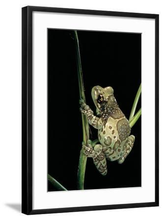 Phrynohyas Resinifictrix (Amazon Milk Frog)-Paul Starosta-Framed Photographic Print