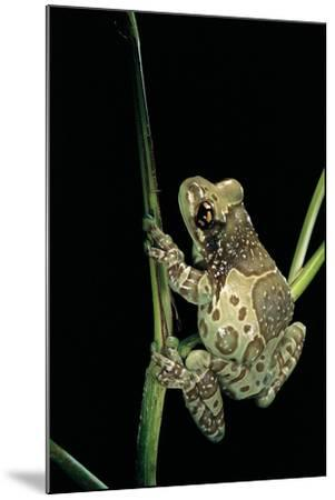 Phrynohyas Resinifictrix (Amazon Milk Frog)-Paul Starosta-Mounted Photographic Print