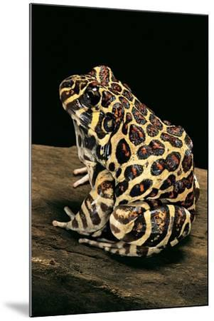 Leptodactylus Laticeps (Santa Fe Frog)-Paul Starosta-Mounted Photographic Print