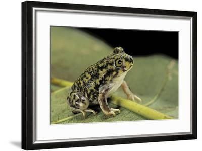 Scaphiopus Couchii (Couch's Spadefoot Toad)-Paul Starosta-Framed Photographic Print