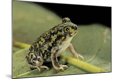 Scaphiopus Couchii (Couch's Spadefoot Toad)-Paul Starosta-Mounted Photographic Print