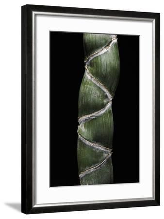 Phyllostachys Edulis Var. Heterocycla (Tortoiseshell Bamboo, Kikkouchiku)-Paul Starosta-Framed Photographic Print