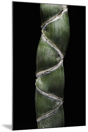 Phyllostachys Edulis Var. Heterocycla (Tortoiseshell Bamboo, Kikkouchiku)-Paul Starosta-Mounted Photographic Print