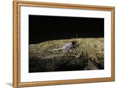 Porphyrophora Polonica (Polish Cochineal, Polish Carmine Scale) - Male-Paul Starosta-Framed Photographic Print