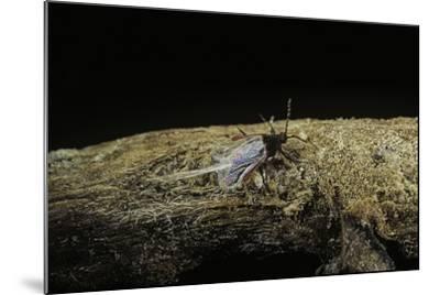 Porphyrophora Polonica (Polish Cochineal, Polish Carmine Scale) - Male-Paul Starosta-Mounted Photographic Print