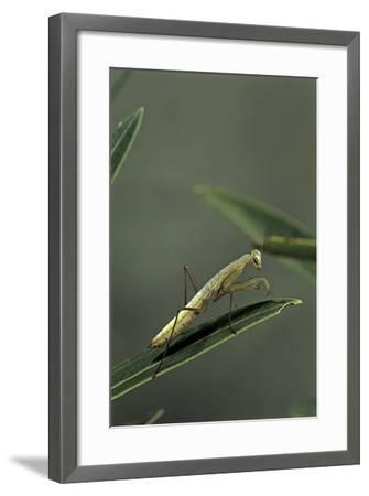Mantis Religiosa (Praying Mantis) - Larva-Paul Starosta-Framed Photographic Print