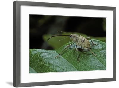Curculio Elephas (Chestnut Weevil)-Paul Starosta-Framed Photographic Print
