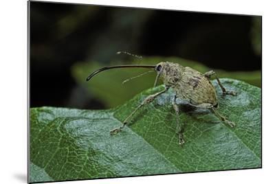 Curculio Elephas (Chestnut Weevil)-Paul Starosta-Mounted Photographic Print