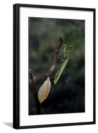 Mantis Religiosa (Praying Mantis) - Laying-Paul Starosta-Framed Photographic Print