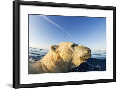 Swimming Polar Bear, Hudson Bay, Nunavut, Canada-Paul Souders-Framed Photographic Print