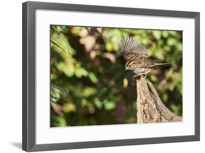 White-Throated Sparrow-Gary Carter-Framed Photographic Print