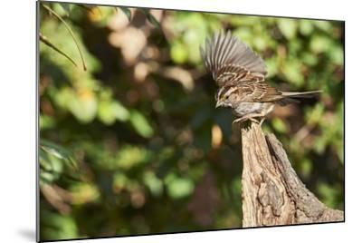 White-Throated Sparrow-Gary Carter-Mounted Photographic Print