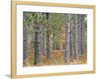 Fall Foliage and Pine Trees in the Forest.-Julianne Eggers-Framed Photographic Print