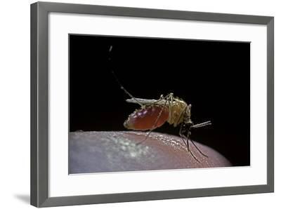 Culex Pipiens (Common House Mosquito) - Biting-Paul Starosta-Framed Photographic Print
