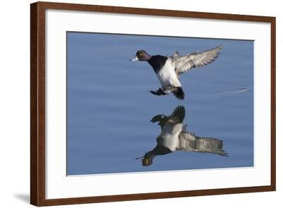 Lesser Scaup Drakes Landing-Hal Beral-Framed Photographic Print