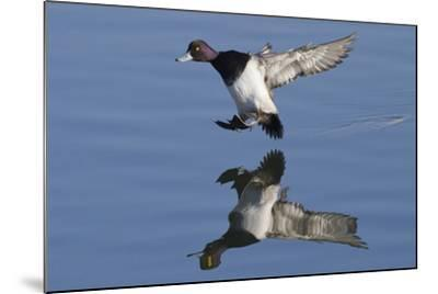 Lesser Scaup Drakes Landing-Hal Beral-Mounted Photographic Print