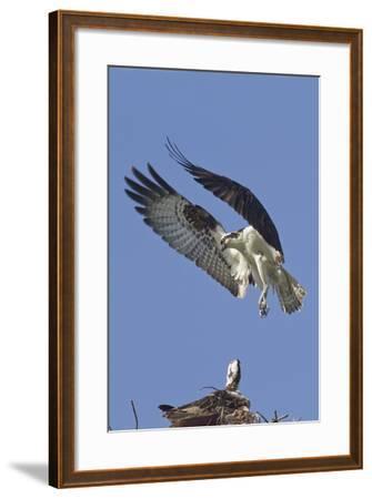 Osprey Landing at its Nest-Hal Beral-Framed Photographic Print