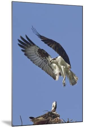 Osprey Landing at its Nest-Hal Beral-Mounted Photographic Print