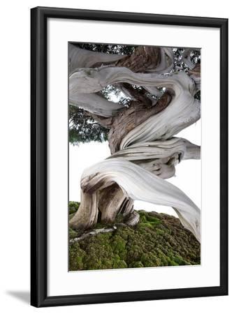 Bonsai Juniper-Fabio Petroni-Framed Photographic Print