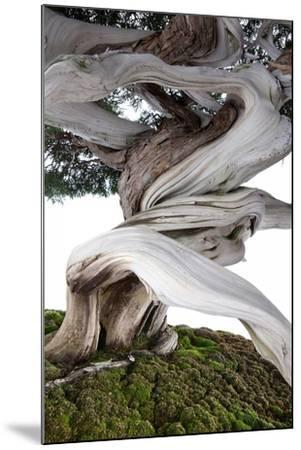Bonsai Juniper-Fabio Petroni-Mounted Photographic Print