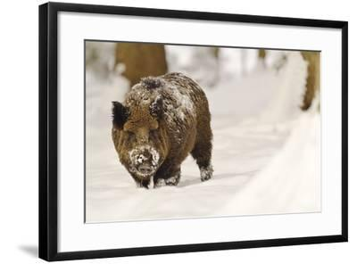 Wild Boar (Sus Scrofa) in the Snow, Bayerischer Wald National Park, Germania, Germany-Gabriele Bano-Framed Photographic Print