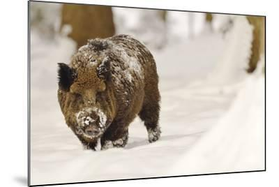 Wild Boar (Sus Scrofa) in the Snow, Bayerischer Wald National Park, Germania, Germany-Gabriele Bano-Mounted Photographic Print