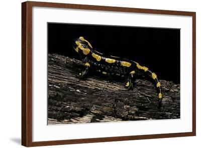 Salamandra Salamandra Terrestris (Fire Salamander)-Paul Starosta-Framed Photographic Print