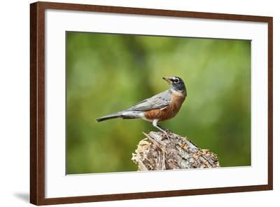 American Robin-Gary Carter-Framed Photographic Print
