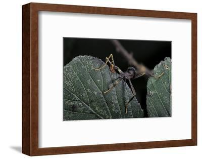 Extatosoma Tiaratum (Giant Prickly Stick Insect) - Very Young Larva-Paul Starosta-Framed Photographic Print