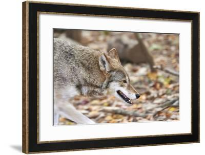 Red Wolf-Gary Carter-Framed Photographic Print