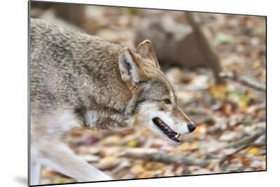 Red Wolf-Gary Carter-Mounted Photographic Print