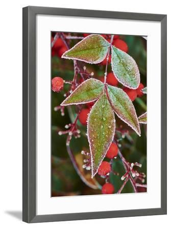 Frost; Leaves-Gary Carter-Framed Photographic Print
