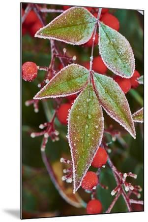 Frost; Leaves-Gary Carter-Mounted Photographic Print