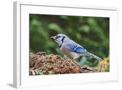 Blue Jay-Gary Carter-Framed Photographic Print
