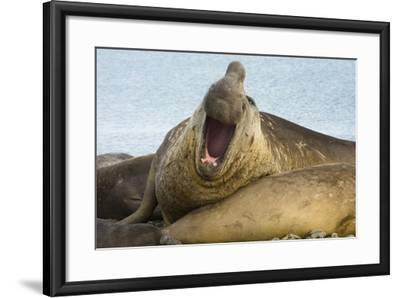Southern Elephant Seal Bull Calling-Joe McDonald-Framed Photographic Print