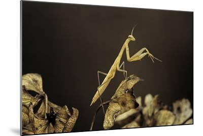 Mantis Religiosa (Praying Mantis) - Larva-Paul Starosta-Mounted Photographic Print