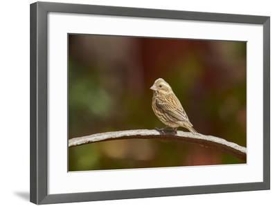Purple Finch-Gary Carter-Framed Photographic Print