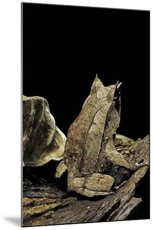 Megophrys Nasuta (Malayan Horned Frog, Long-Nosed Horned Frog, Malayan Leaf Frog)-Paul Starosta-Mounted Photographic Print