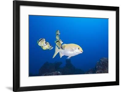 Barberfish (Johnrandallia Nigrirostris) Cleaning Yellow Sea Chub (Kyphosus Lutescens)-Reinhard Dirscherl-Framed Photographic Print