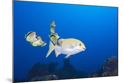 Barberfish (Johnrandallia Nigrirostris) Cleaning Yellow Sea Chub (Kyphosus Lutescens)-Reinhard Dirscherl-Mounted Photographic Print