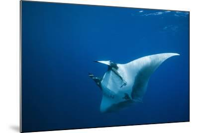 Manta Ray with Remora (Manta Birostris)-Reinhard Dirscherl-Mounted Photographic Print