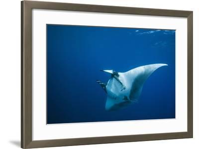 Manta Ray with Remora (Manta Birostris)-Reinhard Dirscherl-Framed Photographic Print